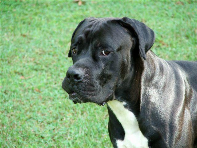 Cane Corso German Shepherd Mix Dog Breeds Picture | Dog ...