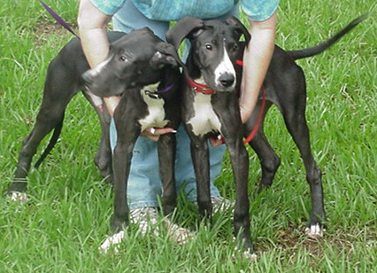 Car To Go >> Great Dane Rescue of Tampa Bay, Inc. - George & Gracie